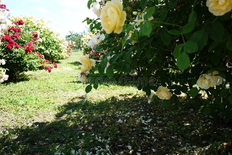 Garden Center para a venda das rosas P?talas cor-de-rosa Multi-colored Detalhes e close-up imagens de stock
