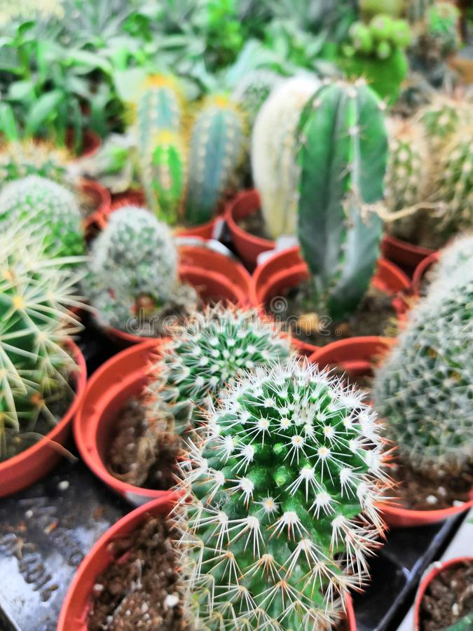 Garden center and wholesale supplier concept. Many different cacti in flower pots in flowers store on the shelves of royalty free stock image