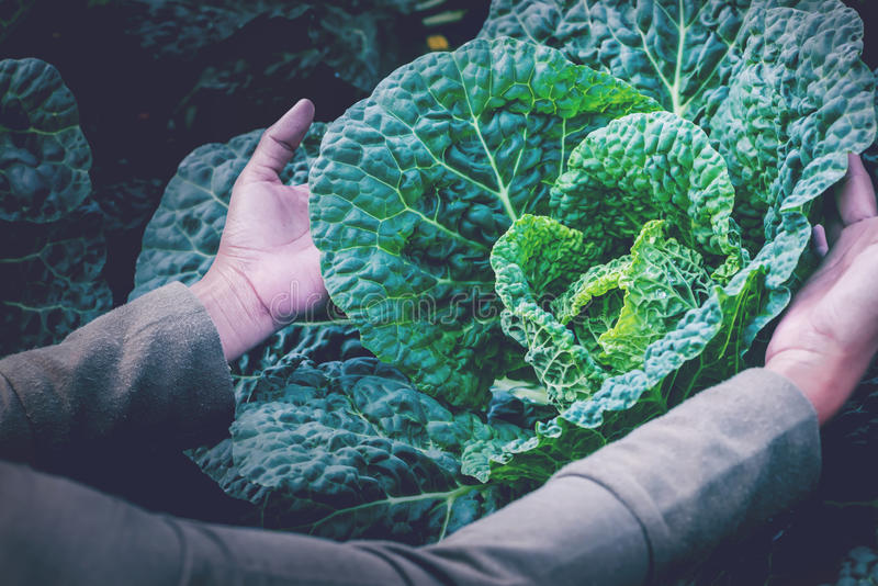 Garden Chinese kale Lettuce fresh from the farm stock photo