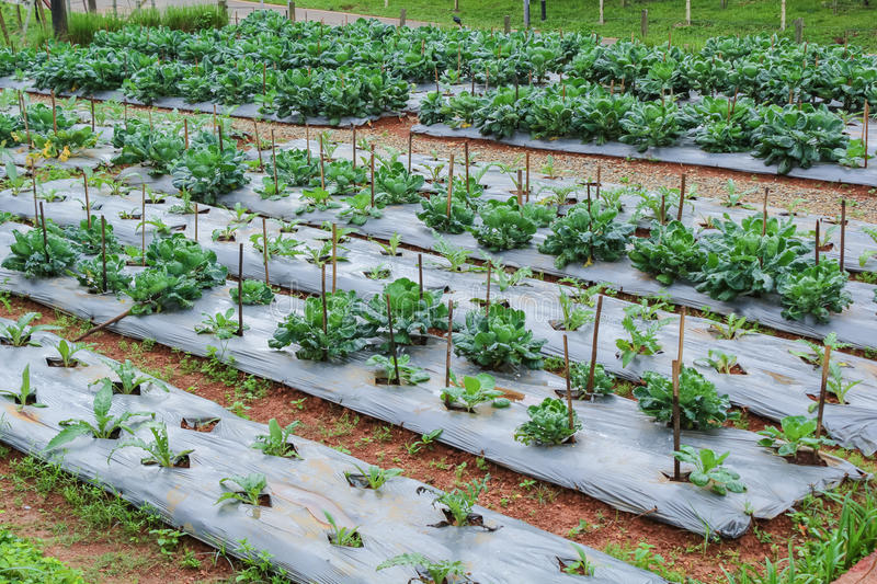 Garden of Chinese kale vegetable royalty free stock photos
