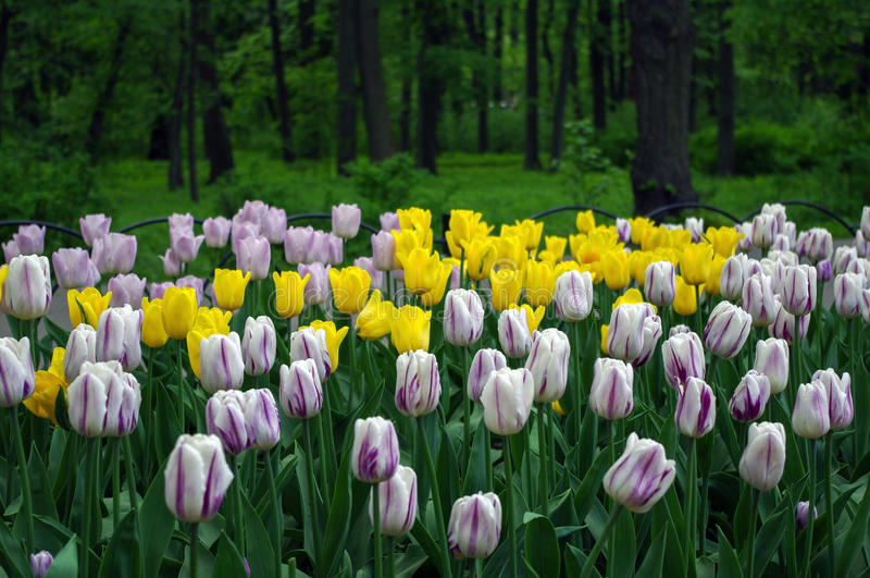 Garden with colorful yellow and pink flowers tulips in the green park royalty free stock photography