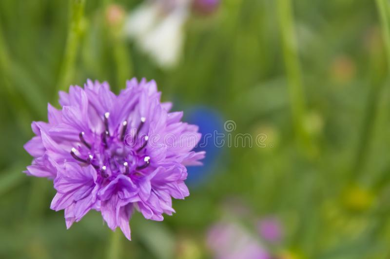 Garden cornflower stock photography