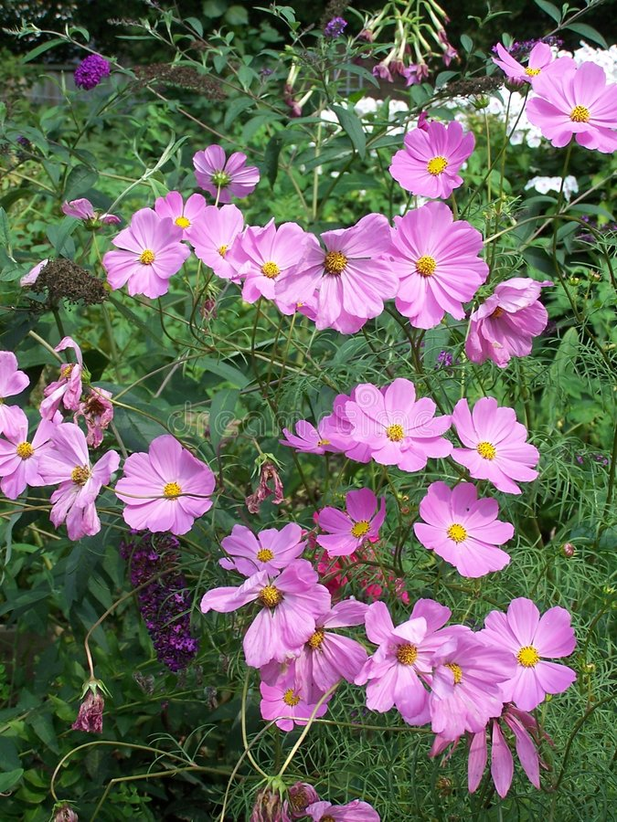 Download Garden Cosmos stock photo. Image of summer, petals, flowers - 304912