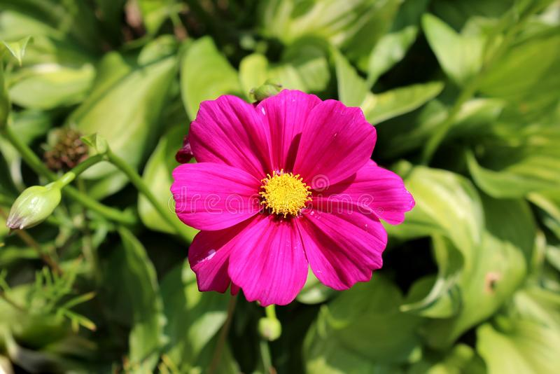 Garden cosmos or Cosmos bipinnatus dark violet half-hardy annual blooming flower stock image