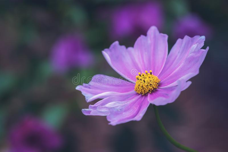 Garden cosmos flower - Cosmos bipinnatus - in a forest royalty free stock photos