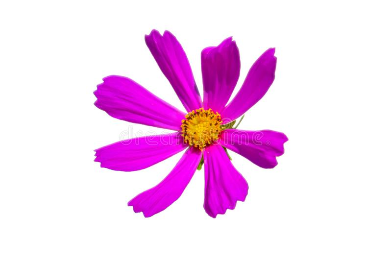 Garden Cosmos Flower isolated Pink Rose. Closup photo of Garden Cosmos flower. Isolalated image. White background png available royalty free stock photo