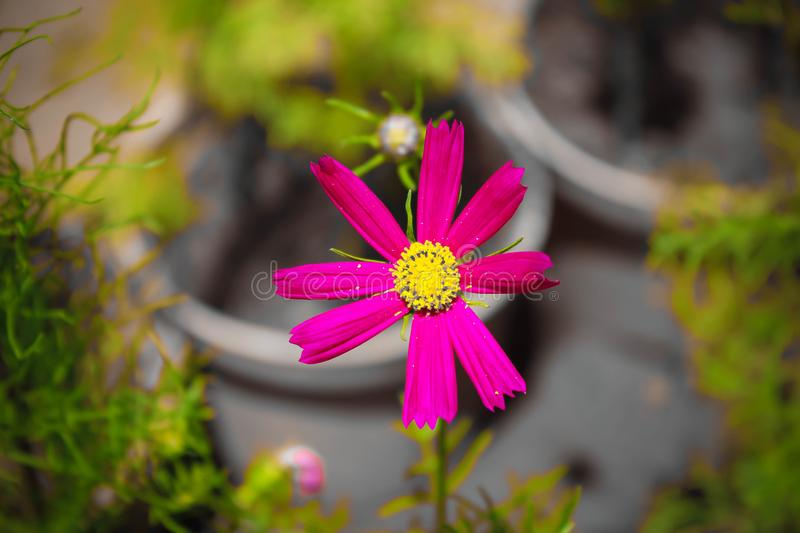 Garden Cosmos Flower Potrait Pink Rose. Closup photo of Garden Cosmos flower in a garden with desaturated background effect royalty free stock photo