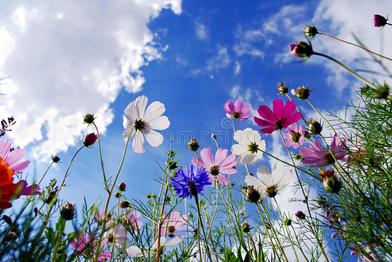 Garden cosmos flowers royalty free stock image