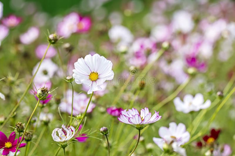 Garden cosmos flowers blossoming in green grass. flora in spring. Closeup view royalty free stock photos