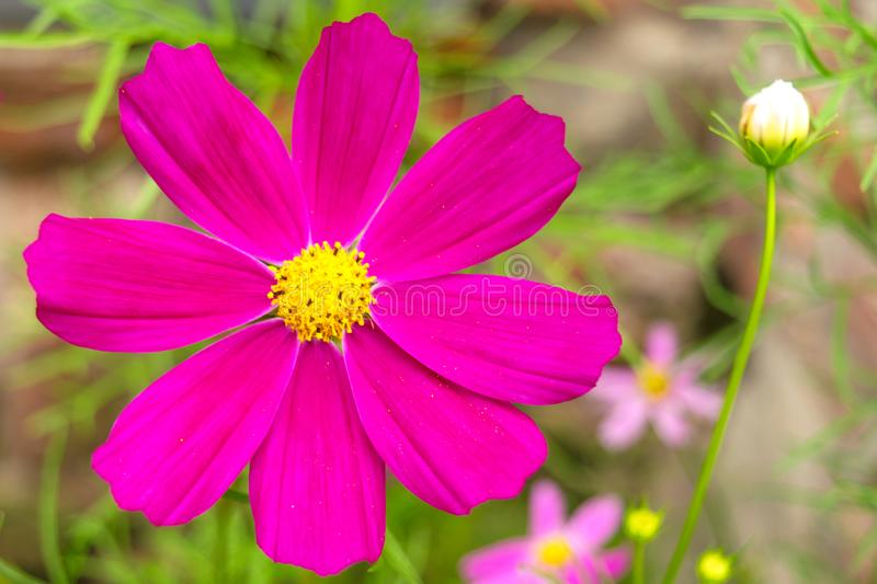 Garden cosmos or Mexican aster Cosmos bipinnatus purple flower with natural background stock images