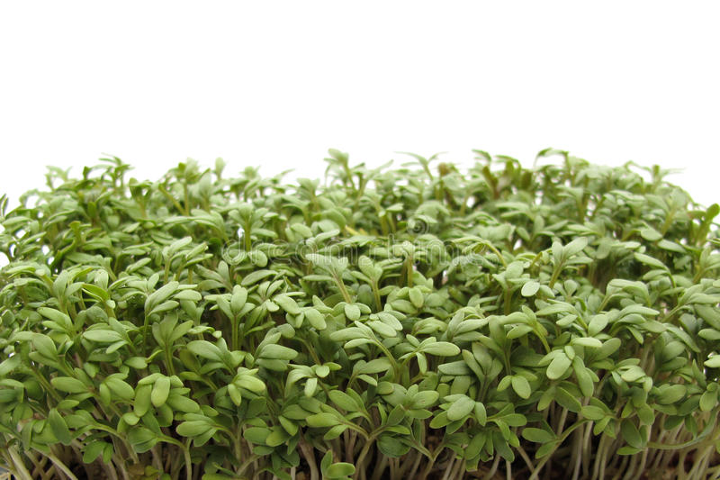 Download Garden cress stock photo. Image of leaf, healthy, fresh - 10428200