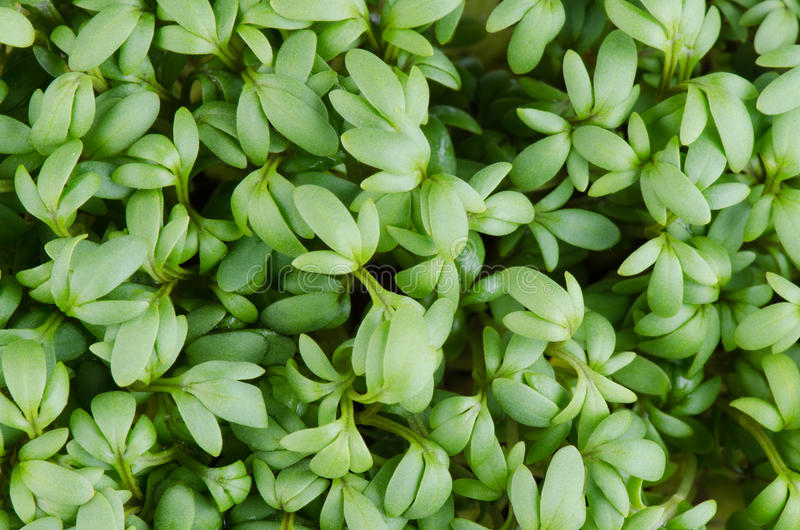Garden cress or Lepidium sativum royalty free stock images