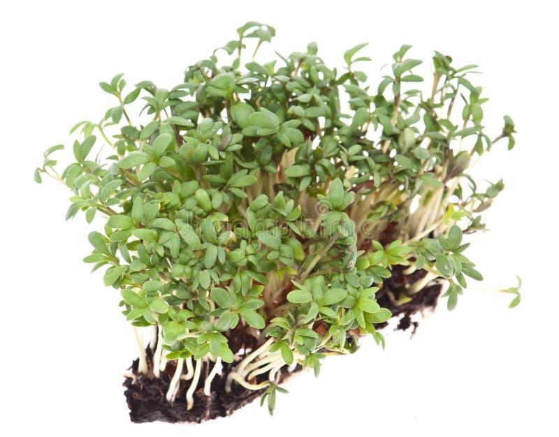 Garden Cress (Lepidium Sativum) isolated on white stock photo