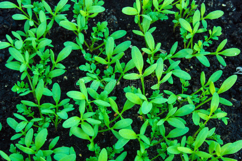 Garden Cress - Lepidium sativum royalty free stock image