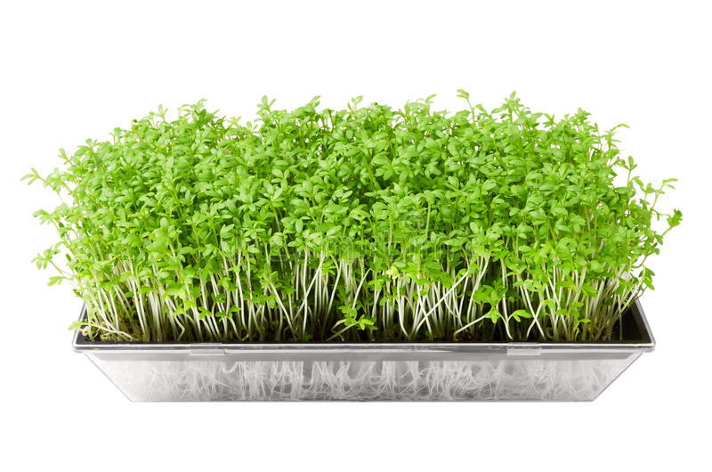 Garden cress in seed sprouter over white. Young plants of Lepidium sativum, an edible herb and microgreen. Also mustard and cress, garden pepper cress stock photos