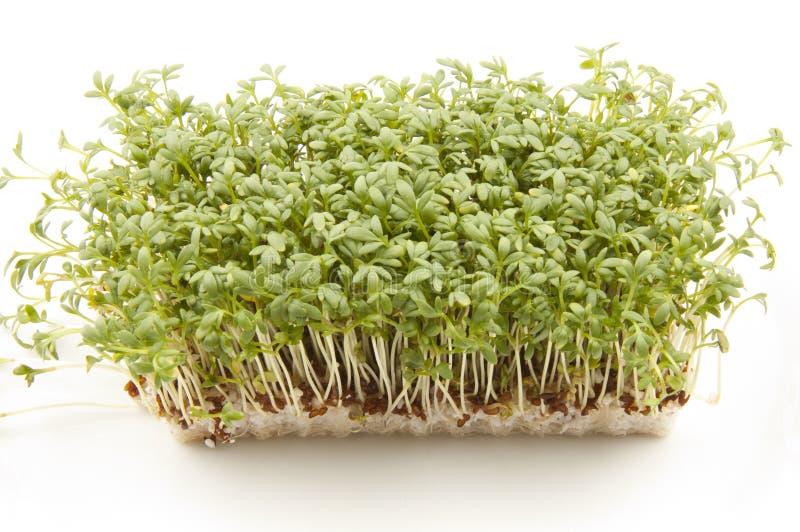 Garden Cress or Sprouts royalty free stock photos