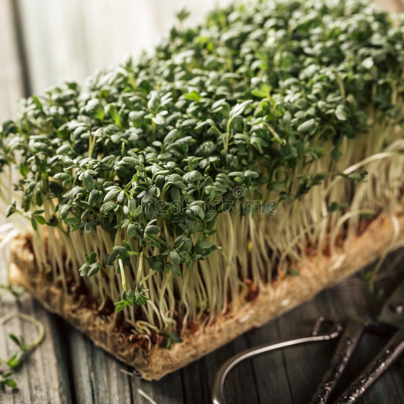 Garden cress, young plants. stock images