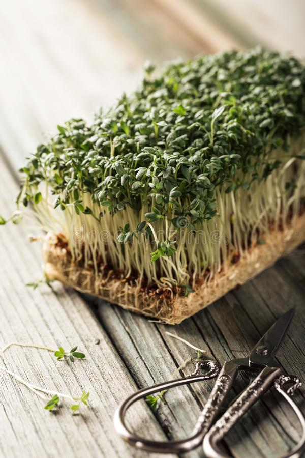 Garden cress, young plants. royalty free stock photography