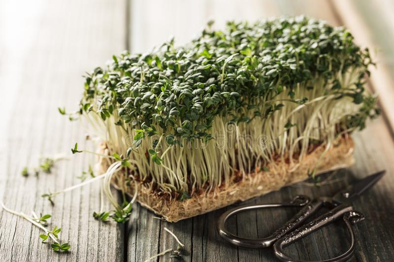 Garden cress, young plants. royalty free stock photo