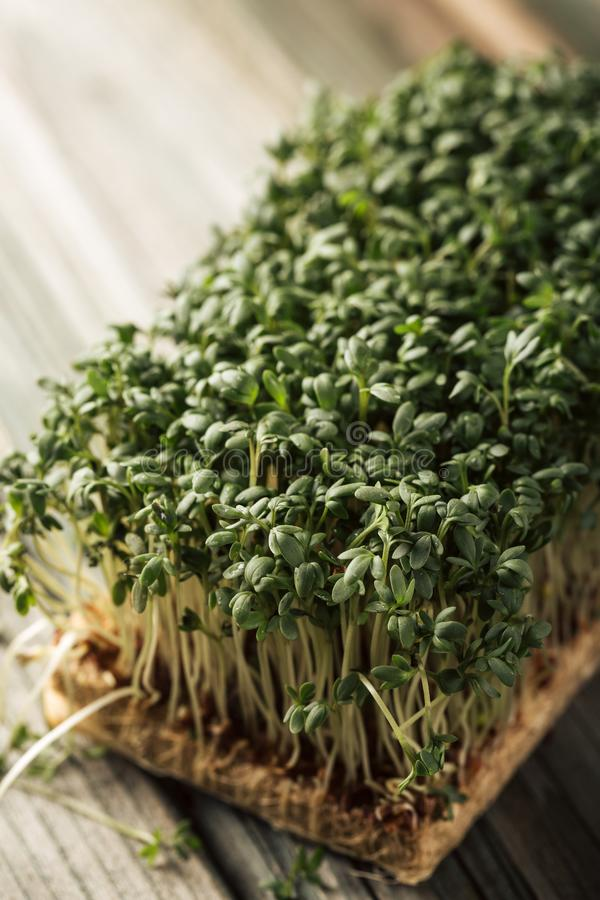 Garden cress, young plants. royalty free stock images