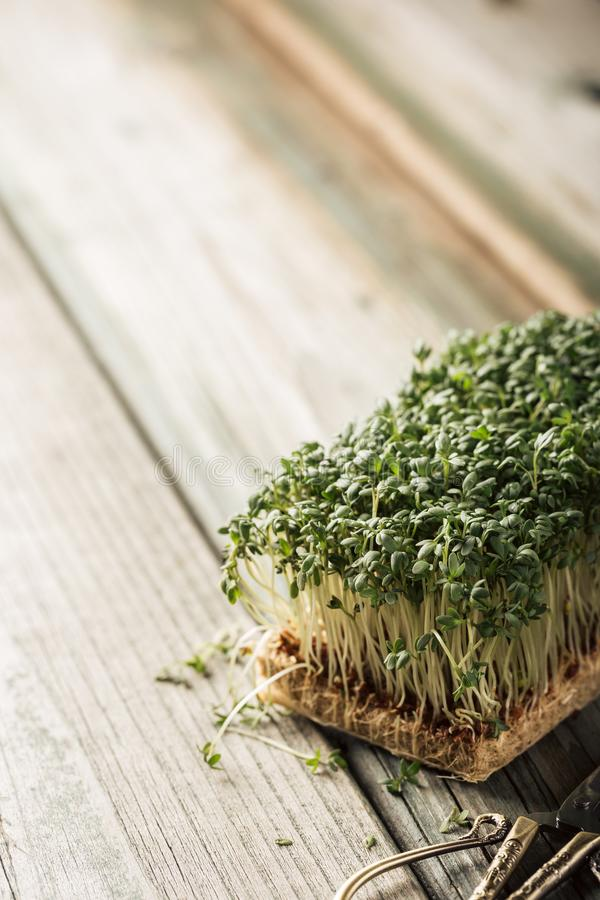Garden cress, young plants. stock photo