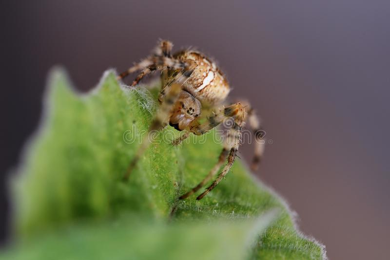 Garden cross spider Araneus diadematus on a leaf, an orb-weave. R spider found in Europe and North America, macro shot with copy space, selected focus, very royalty free stock image