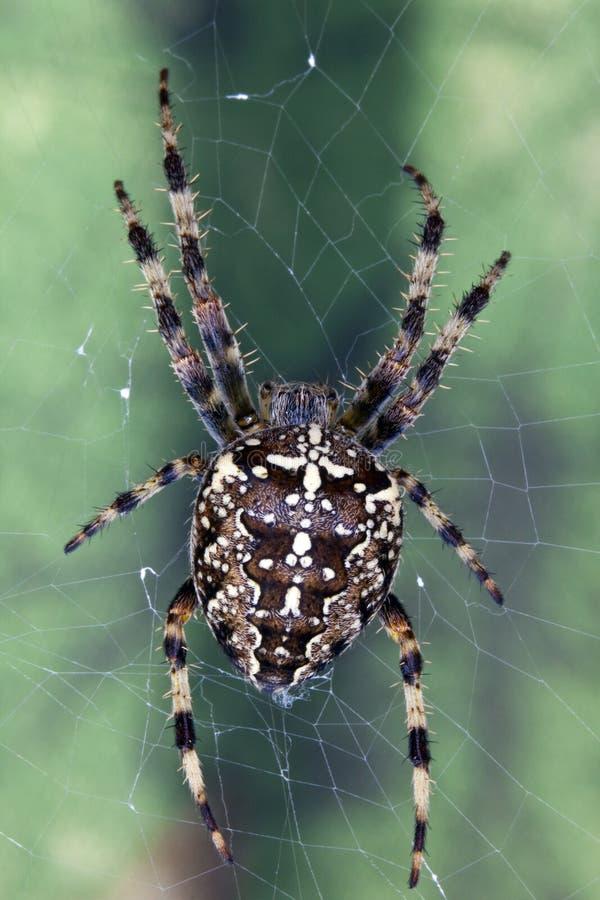 Download Garden Cross Spider (Areneus Diadematus) Royalty Free Stock Image - Image: 22943296