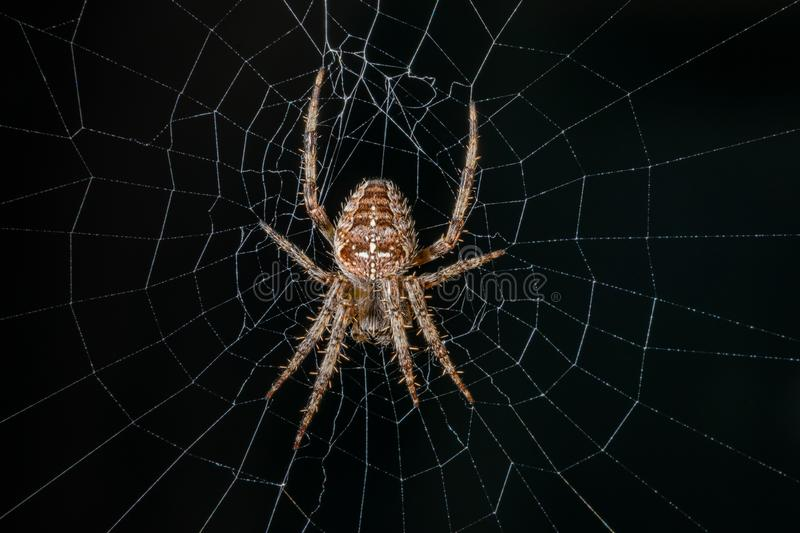 Garden Cross Spider on its web. Macro image of a Garden Cross Spider on its web with small dew drops taken with slight shallow depth of field stock photos