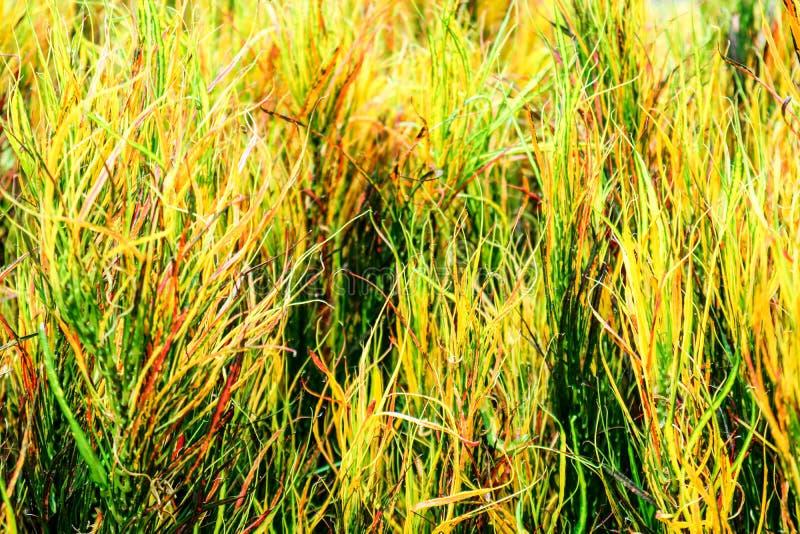 garden croton rainbow leaves is often grown in tropical gardens stock photo