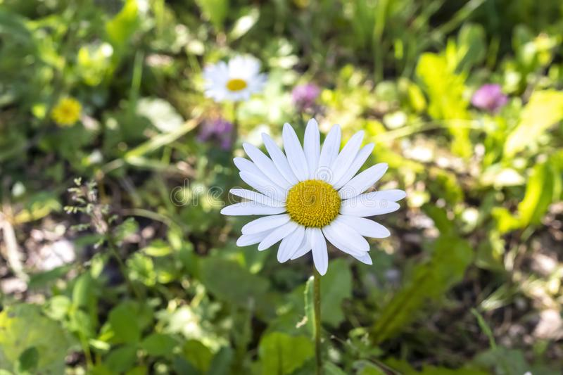 Garden daisies in grass on a sunny summer day stock images