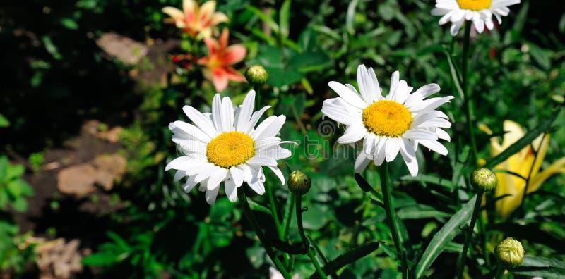 Garden daisy in a flower bed. Selective focus. Wide photo. White garden daisy in a flower bed. Selective focus. Wide photo stock photography