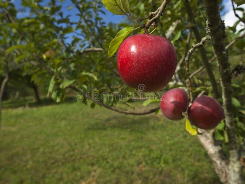 Download Garden of eden stock photo. Image of fruit, fresh, apples - 12194326