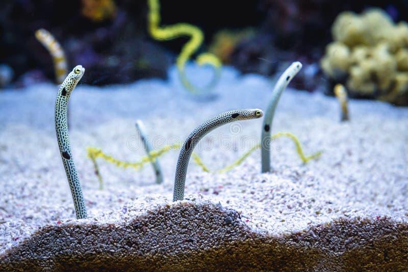Garden eels in aquarium. Group of garden eels heteroconger in aquarium royalty free stock photography