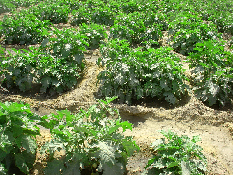 Garden Egg Plant In The Field Stock Image - Image of irrigation ...