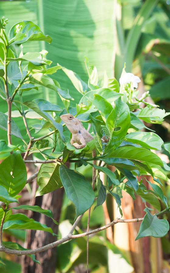 Garden fence lizard, oriantal garden lizard on the plant royalty free stock image