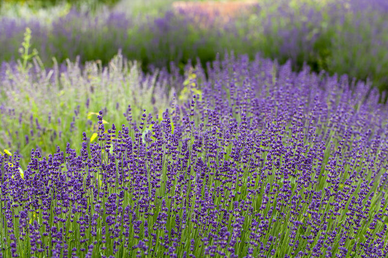 Garden with the flourishing lavender. In France royalty free stock photo