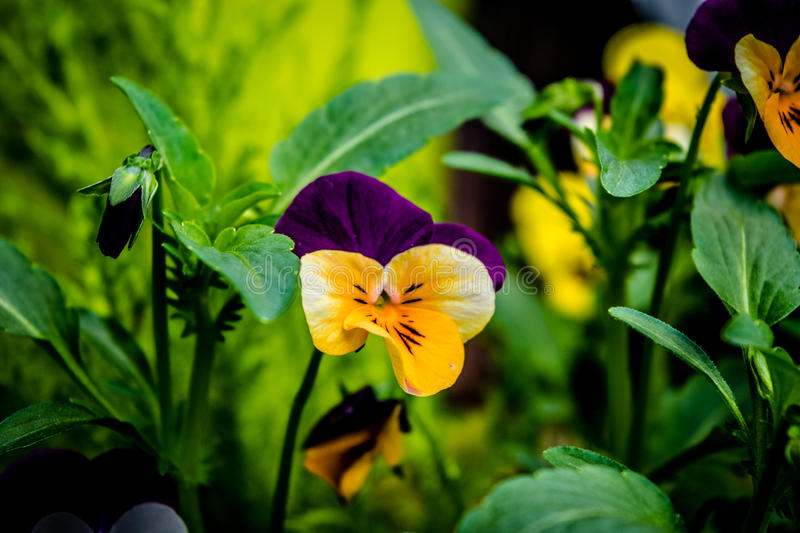 Garden flower - Pansy yellow, purple. Garden flower - blossoming Pansy yellow, purple royalty free stock photos