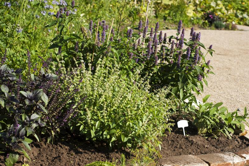 Mixed herb plants growing in summer. A garden of flowering mixed herb plants in summer in an urban garden stock images