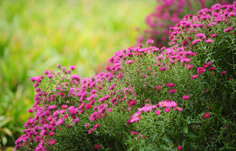 Garden flowers royalty free stock images