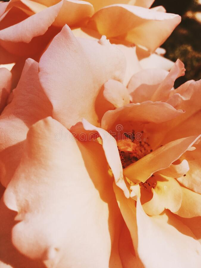 Wonderful blooming rose flower at sunset, floral beauty background. Garden flowers, beautiful nature and romantic holiday concept - Wonderful blooming rose stock images
