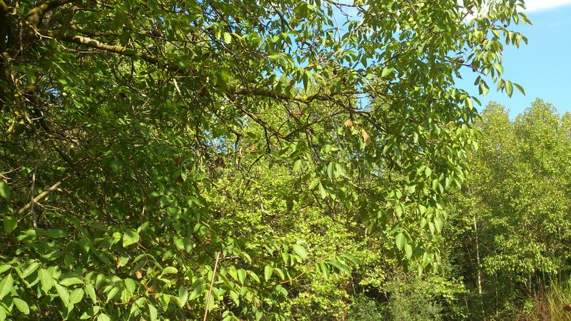 A green background, with tree leafs. royalty free stock photography