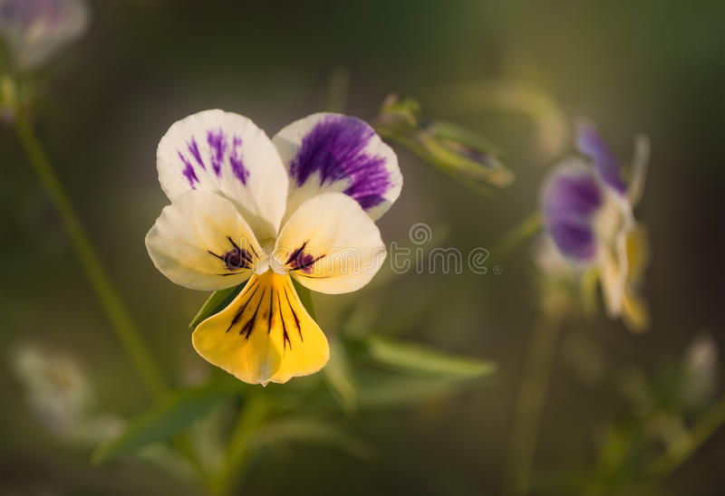 Garden flowers pansy royalty free stock photography