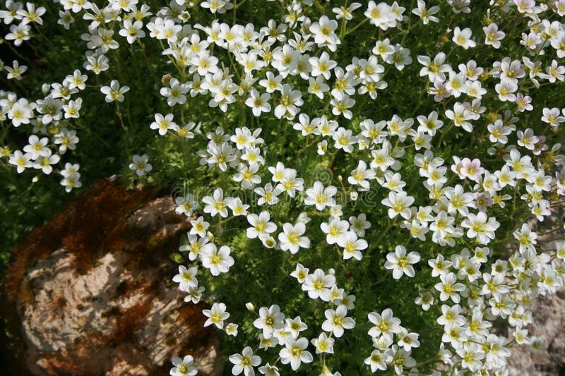 Garden Flowers And Stones Saxifrage White Stock Image Image Of Hill White 120330541