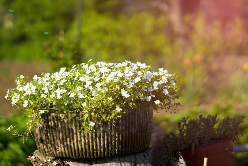 Garden flowers in a pot. Composition of white flowers in an unusual pot in the garden royalty free stock photos
