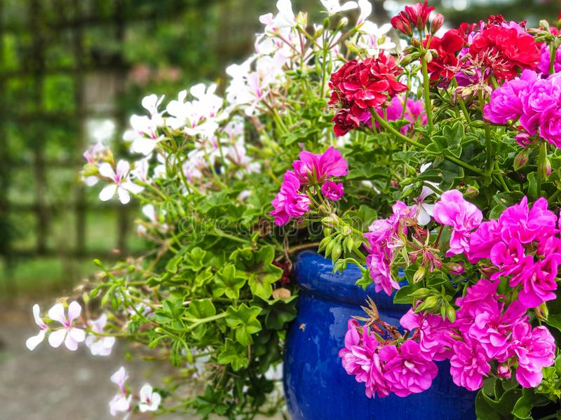 Garden flowers in the pot or tub royalty free stock photo