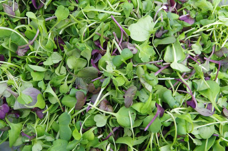 Garden fresh microgreens salad closeup royalty free stock photo