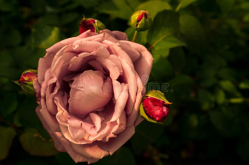 Garden with fresh pink roses with black backdrop, floral natural hipster vintage background royalty free stock photography