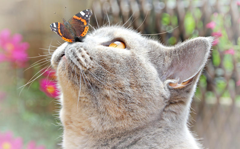 Garden friends. Photo of a beautiful pedigree british shorthair cat enjoying a tender moment as a butterfly lands on her nose