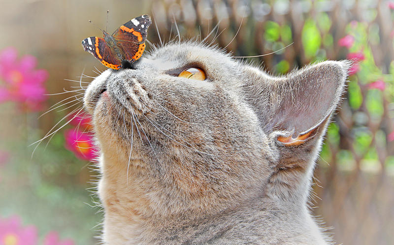 Garden friends. A wow moment for a pedigree british shorthair cat as a beautiful painted lady butterfly gently lands on her nose in the garden