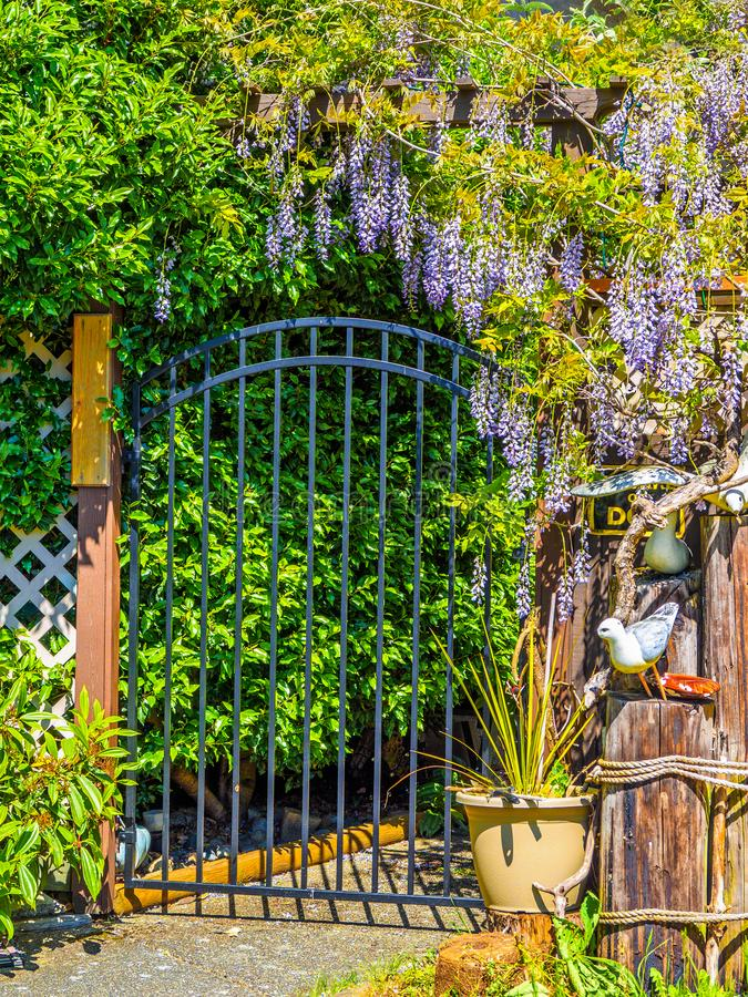Wisteria Wisteria sinensis. Garden gate under large purple clusters of wisteria Wisteria sinensis blooming in the spring stock images